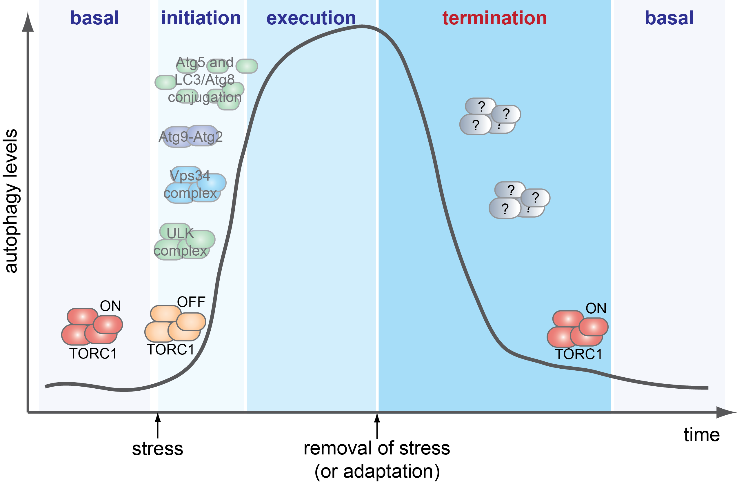 How is autophagy termination regulated?