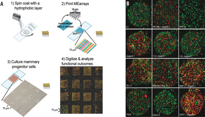 (A) Microarrays are typically fabricated on substrates such as poly-dimethylsiloxane (PDMS) or functionalized glass slides (step 1) to physically adsorb or covalently bind mixtures of growth factors and ECM components that are spotted using a robotic spotter or a printer from conventional multi-titer plate libraries (step 2). After passivation of the array to avoid nonspecific cell attachment, stem cells are cultured onto the arrays (step 3) and the effect of individual protein mixtures on proliferation or differentiation can be assessed using fluorescence stainings (step 4). Reprinted with permission from Reference 11. Copyright 2009 Royal society of Chemistry. (B) An example of primary human neural progenitors cultured on laminin (Ln) spots illustrating the strong influence of different growth factors combinations or concentrations on cell proliferation and the expression of neurogenic (TUJ1, in green) and glial (GFAP, in red) markers. Adapted with permission from Reference 10. Copyright 2005 Nature Publishing Group.