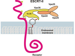 The ESCRT-II complex recognizes ubiquitinated receptors in the endosomal membrane, thus initiating their sorting to degradative lysosomes. (click to enlarge image)
