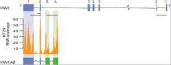 Identification of a novel transcript variant, VNN1-AB