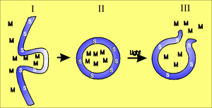 The figure shows an illustration of how molecules can enter cytosol after pho-tochemical treatment.The photosensitizer (S) and the selected molecule (M) are endocytosed by the cells, ((I) illustrates the invagination of the plasma membrane) and both com-pounds ends up in the same vesicles (II). When these vesicles are exposed to light the membranes of these vesi-cles will be ruptured and the contents released (III).