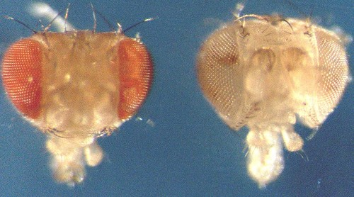 <i>Figure legend:</i> A normal Drosophila head is shown to the left whereas a head consisting of fab1 mutant cells is shown to the right. Note the larger size of the mutant head compared with the wild-type head.