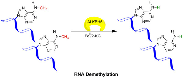 Figure legend 2: ALKBH5 mediated demethylation of 6-methyladenine (6meA) in messenger RNA (mRNA).
