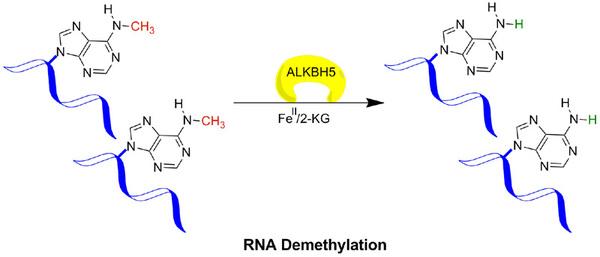 Figure legend 2: ALKBH5 mediated demethylation of 6-methyladenine (6meA) in messenger RNA (mRNA).